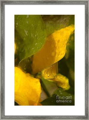 Yellow Cala Ruffles Framed Print by Jennifer Apffel