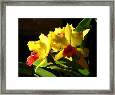 Yellow Cattleya Orchid Framed Print by Alfred Ng