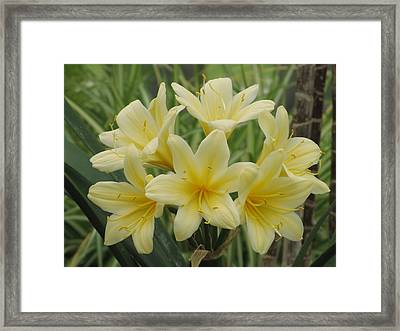 Yellow Clivia Lily Framed Print by Alfred Ng