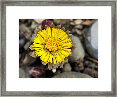 Yellow Coltsfoot Flower Framed Print by Christina Rollo