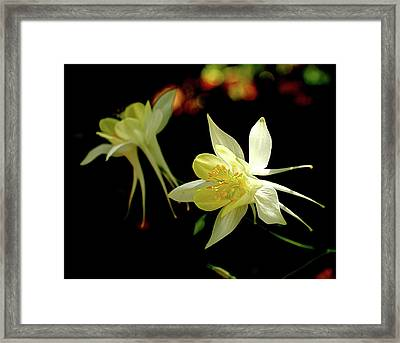 Yellow Columbine Framed Print by Rona Black