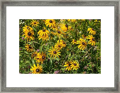 Yellow Daisies In Tall Grass Prairie Madison County Iowa Framed Print by Robert Ford