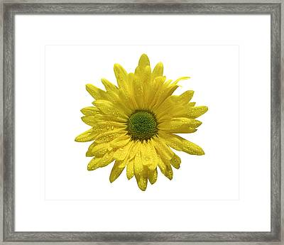 Yellow Daisy  Framed Print by Mauro Celotti