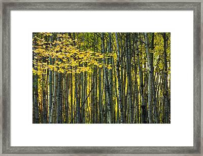 Yellow Fall Birch Leaves Against An Framed Print by Joel Koop