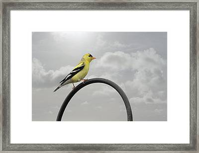 Yellow Finch A Bright Spot Of Color Framed Print by Christine Till