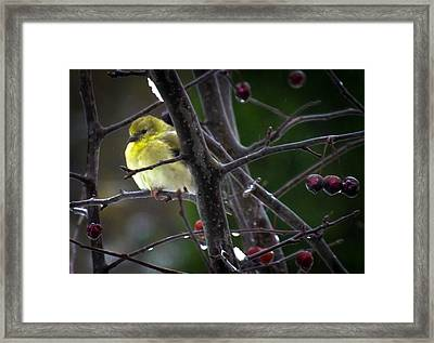 Yellow Finch Framed Print by Karen Wiles