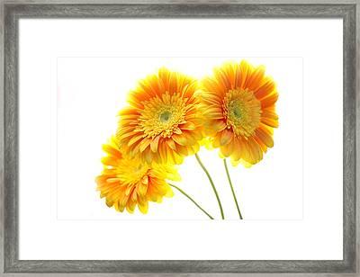 Yellow Gerber Trio Framed Print by Rebecca Cozart