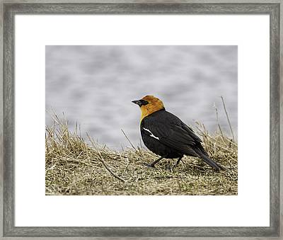 Yellow-headed Blackbird  2 Framed Print by Thomas Young