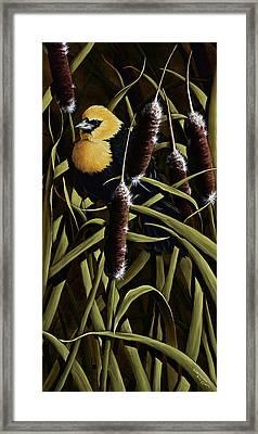 Yellow Headed Blackbird And Cattails Framed Print by Rick Bainbridge