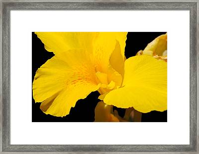 Yellow Canna Lily Framed Print by Renee Perran