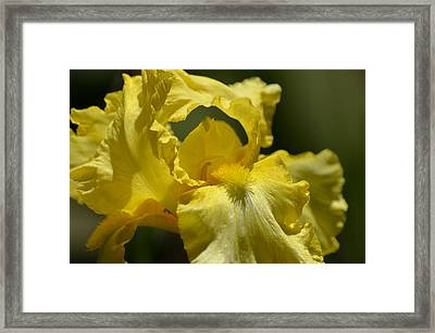 Yellow Iris Swirl Framed Print by Maria Urso
