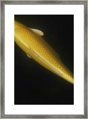 Yellow Koi Tail Down Vertical Framed Print by Rebecca Cozart