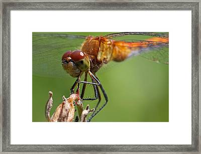 Yellow-legged Meadowhawk Dragonfly Framed Print by Juergen Roth