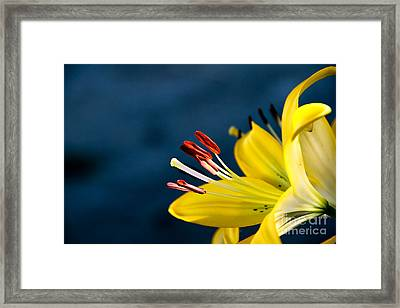 Yellow Lily Stamens Framed Print by Robert Bales