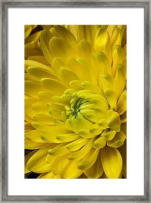 Yellow Mum Still Life Framed Print by Garry Gay