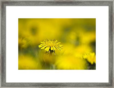 Yellow On Yellow Dandelion Framed Print by Christina Rollo