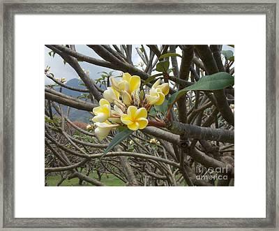 Yellow Plumeria  Framed Print by Mindy Sue Werth