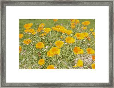 Yellow Poppy Field Framed Print by Georgia Fowler