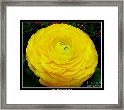 Yellow Ranunculus Flower Framed Print by Rose Santuci-Sofranko