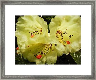 Yellow Rhodies Framed Print by Ronda Broatch