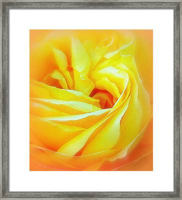 Yellow Rose Abstracted Framed Print by Paula Tohline Calhoun