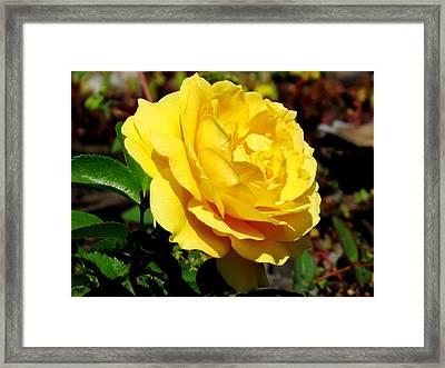 Yellow Rose IIi Framed Print by Zina Stromberg