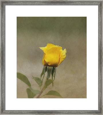 Yellow Rose Framed Print by Kim Hojnacki