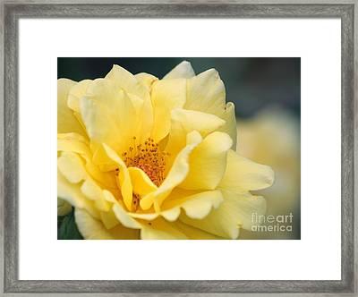 Yellow Rose Macro Framed Print by Carol Groenen
