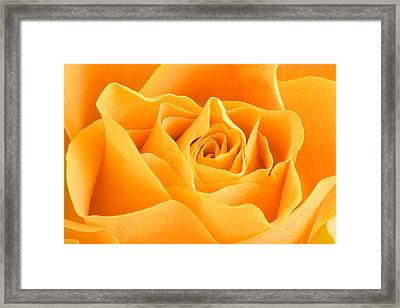 Yellow Rose Framed Print by Tilen Hrovatic