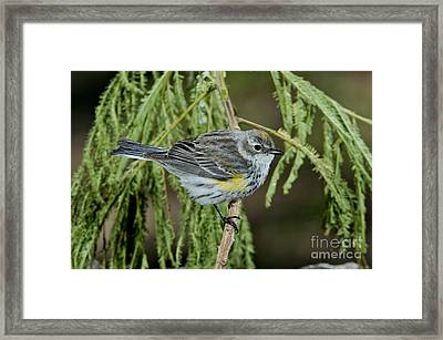 Yellow-rumped Warbler Framed Print by Anthony Mercieca