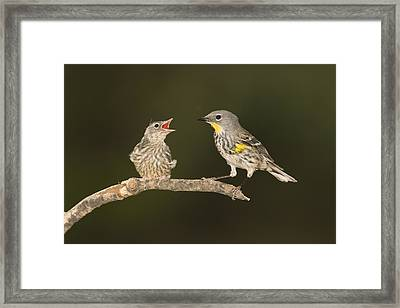 Yellow-rumped Warbler Chick Begging Framed Print by Tom Vezo