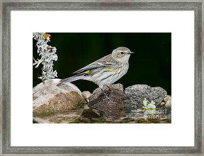 Yellow-rumped Warbler Hen Framed Print by Anthony Mercieca