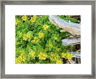 Yellow Sedum Ala Drift Framed Print by Randy Rosenberger