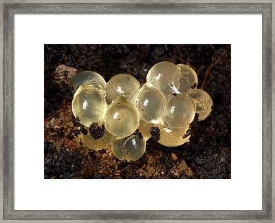 Yellow Slug Egg Cluster Framed Print by Nigel Downer