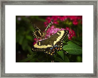 Yellow Swallowtail Butterflies  Framed Print by Saija  Lehtonen