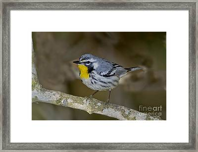 Yellow-throated Warbler Framed Print by Anthony Mercieca