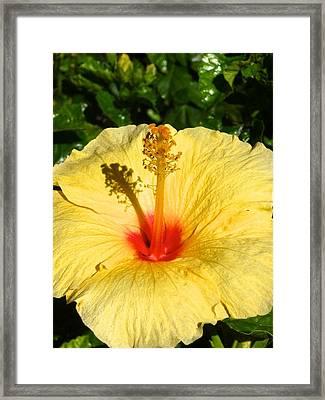 Yellow Tropical Flower  Framed Print by Shaun Maclellan