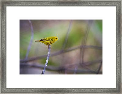 Yellow Warbler Framed Print by Chris Hurst