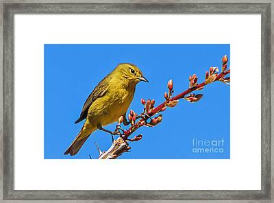 Yellow Warbler Framed Print by Robert Bales