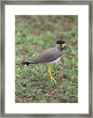 Yellow-wattled Lapwing Framed Print by Peter J. Raymond