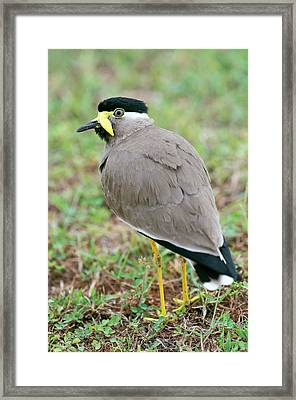 Yellow Wattled Lapwing Framed Print by Tony Camacho