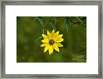 Yellow Wildflower Framed Print by Ms Judi