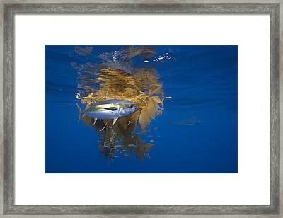 Yellowfin Tuna And Kelp Nine-mile Bank Framed Print by Richard Herrmann