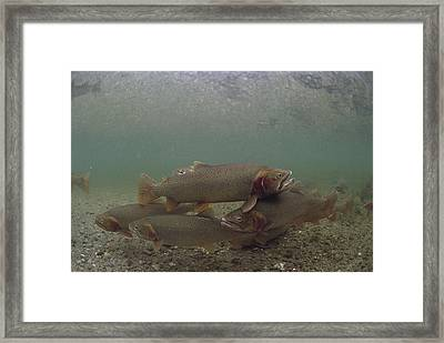 Yellowstone Cutthroat Trout In Stream Framed Print by Michael Quinton