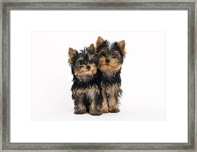 Yorkie Puppies Framed Print by Jean-Michel Labat