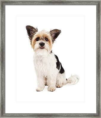 Yorkshire Terrier And Shihtzu Crossbreed Sitting Framed Print by Susan  Schmitz