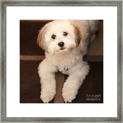 Yoshi Is One Today - Havanese Puppy Framed Print by Barbara Griffin