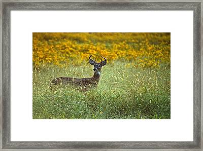 Young Buck Framed Print by Skip Willits