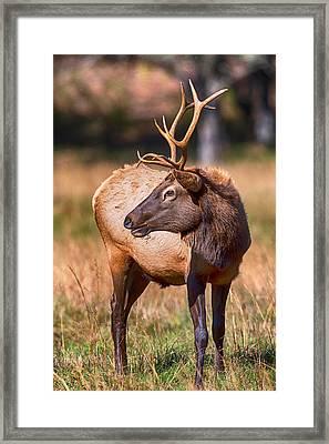 Young Cataloochee Elk Framed Print by John Haldane