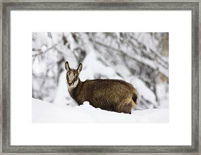 Young Chamois (rupicapra Rupicapra Framed Print by Martin Zwick